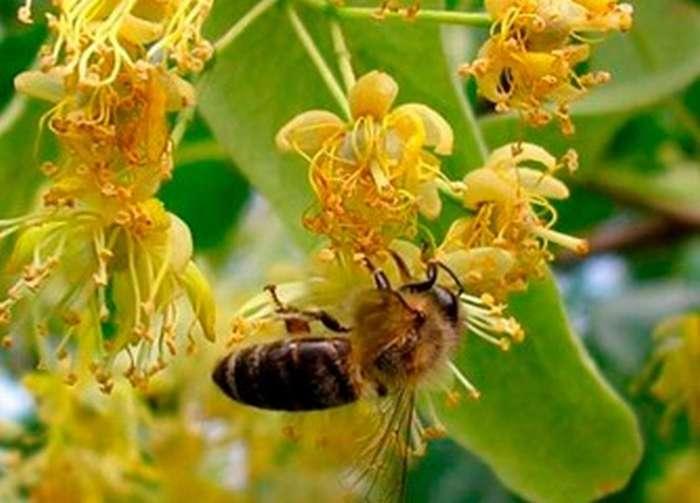 Пчела на липе