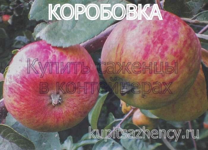 яблоки коробовка фото