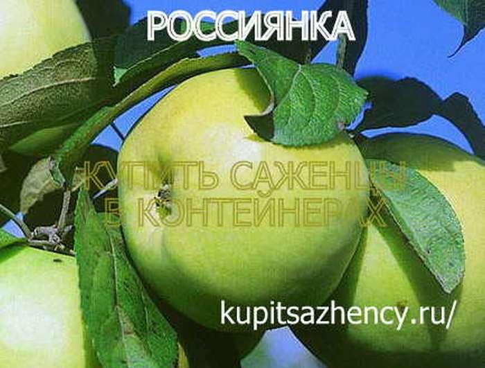 яблоня россиянка фото описание